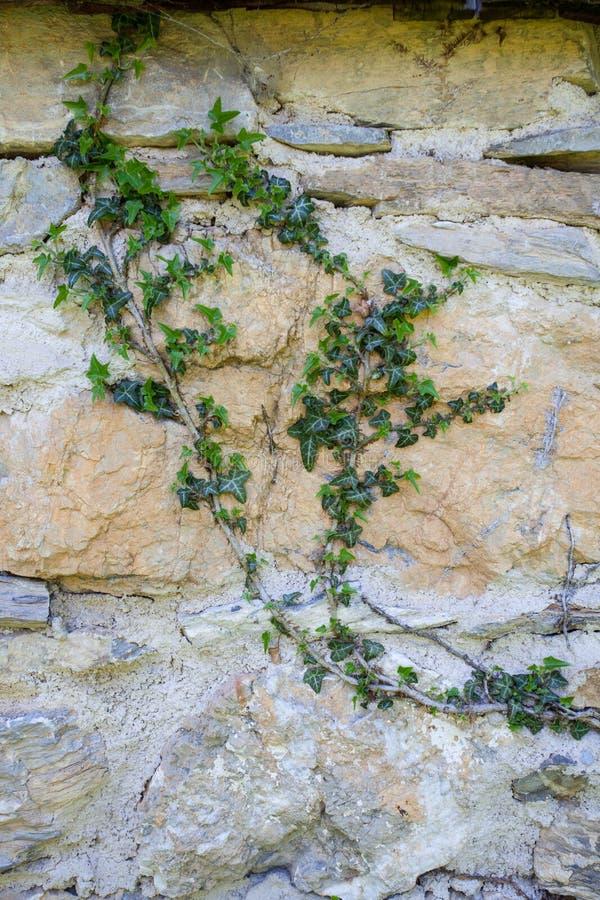 Abstrakta bakgrunder: gammal limefruktstenvägg som är bevuxen med murgrönan royaltyfri foto
