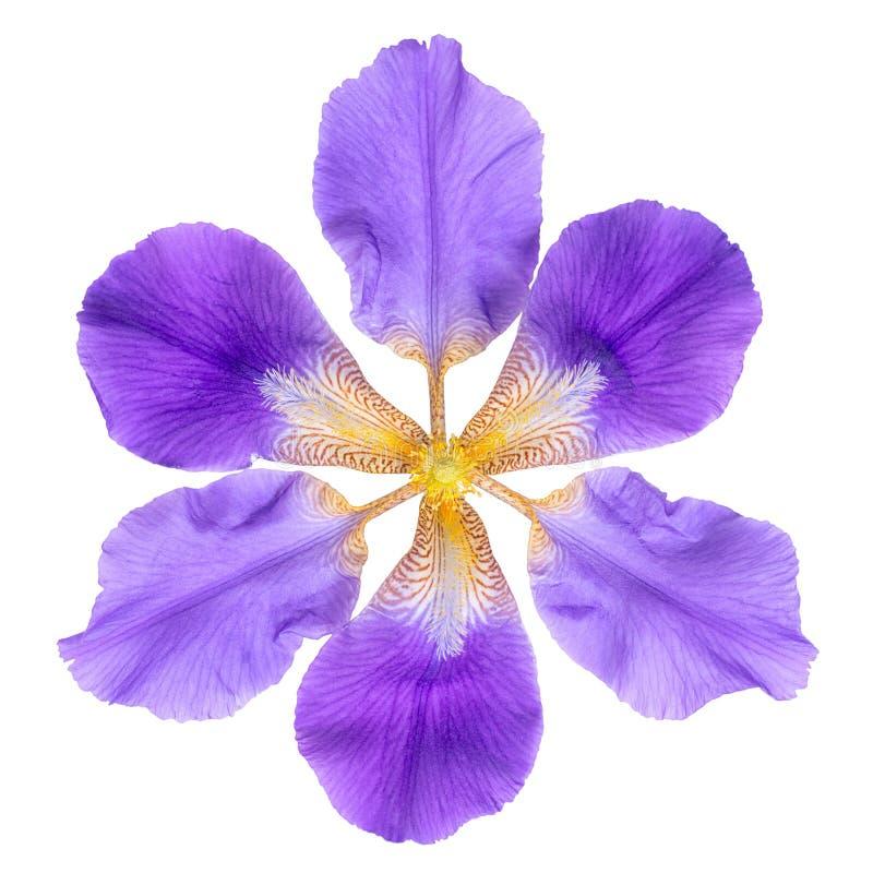 Abstrakta fantastiska lila irisblommor isoleras på på vita lodisar royaltyfri foto