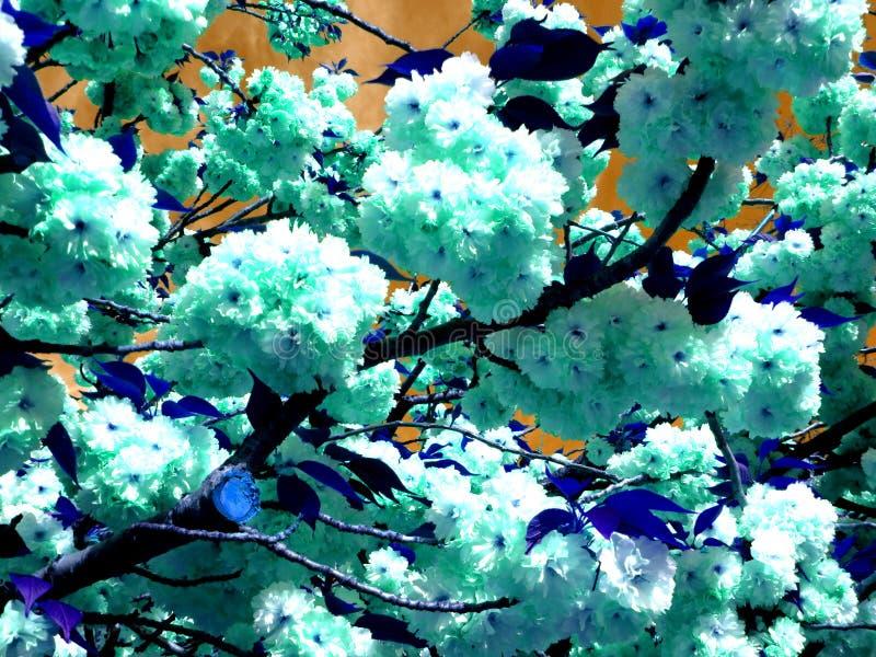 Abstrakta Kwanzan Cherry Blossoms royaltyfria bilder