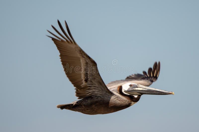 Abstrakta pelikan i flykten på stranden av Atlantic Ocean royaltyfria bilder