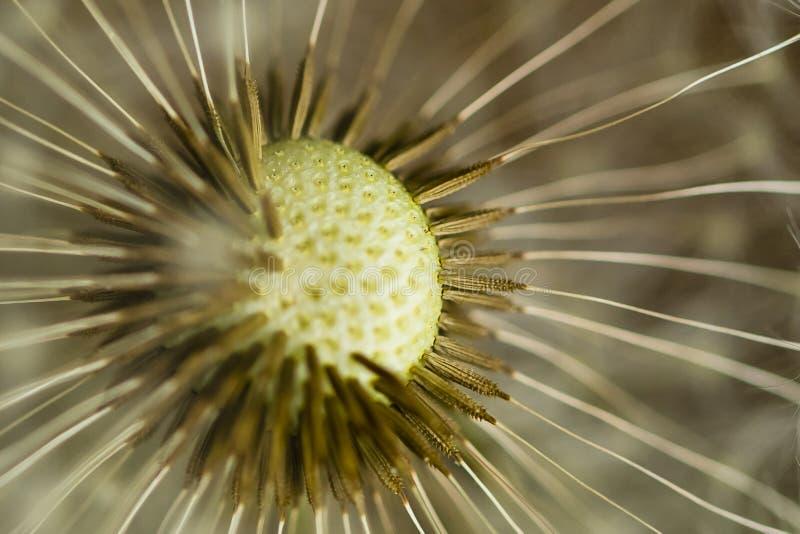 Abstrakte Blume: Stachel-Seedpods auf Löwenzahn stockbilder