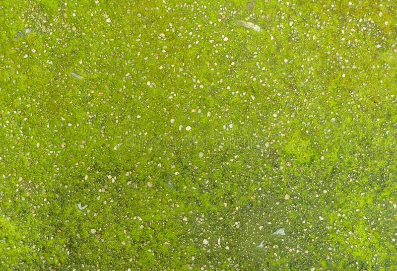 Abstrakte Grünalgen auf der Wandbeschaffenheit, gut für Hintergrund lizenzfreie stockfotografie