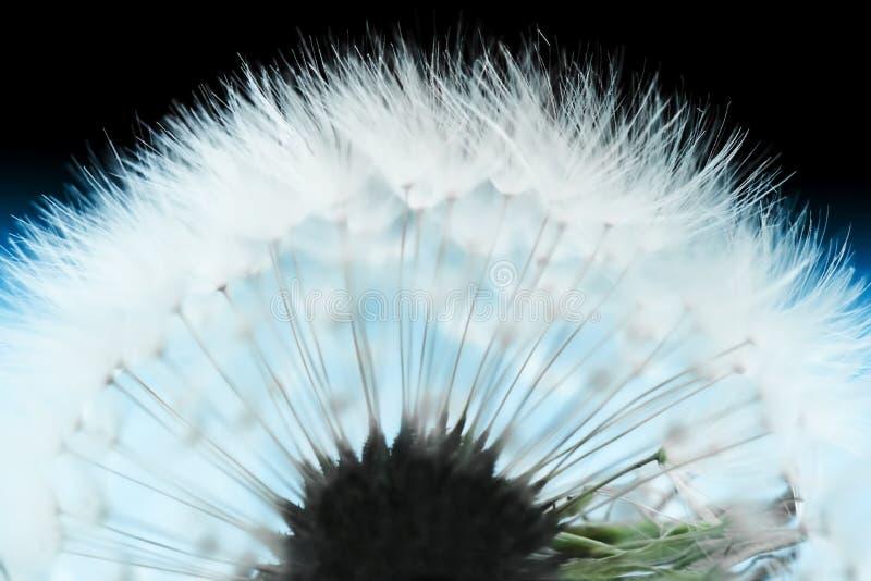 Abstrakte Löwenzahnblume stockfotografie