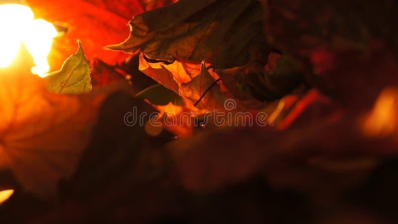 Abstrakte Nahaufnahme von verschiedenem Autumn Fall Leaves im Abend-Licht-Hintergrund stockbilder