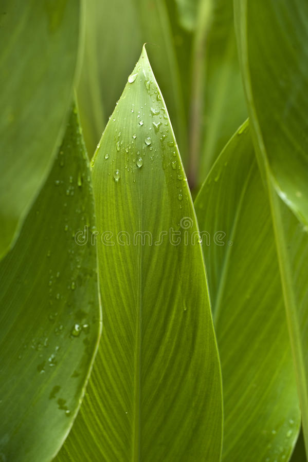 Abstrakte nasse Calla-Blätter lizenzfreie stockfotos