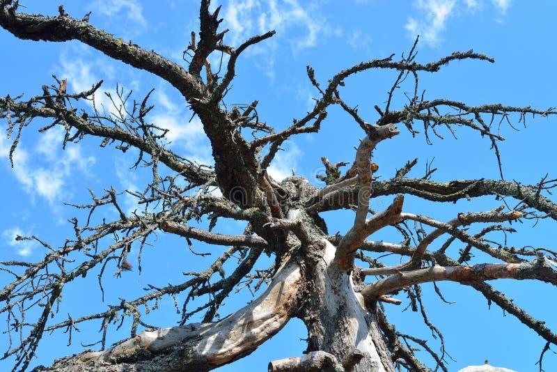 Abstrakte Natur - oben betrachtend einem alten trockenen Baum gegen den blauen Himmel lizenzfreie stockfotos