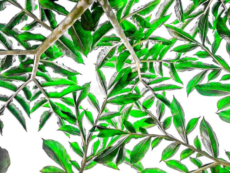 Abstrakte Oberfläche des Grüns lässt Muster auf weißem Hintergrund stockfotografie