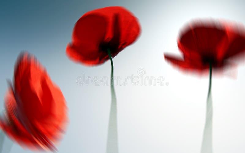 Abstrakte schöne rote Mohnblumenblume im Sommer stockbild