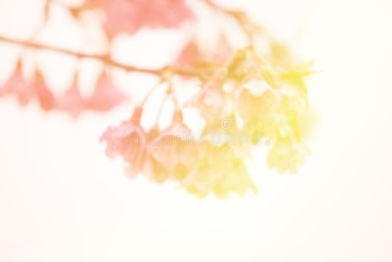 Abstrakte Unschärfe und weich süße thailändische Kirschblüte-Niederlassung lizenzfreie stockfotos