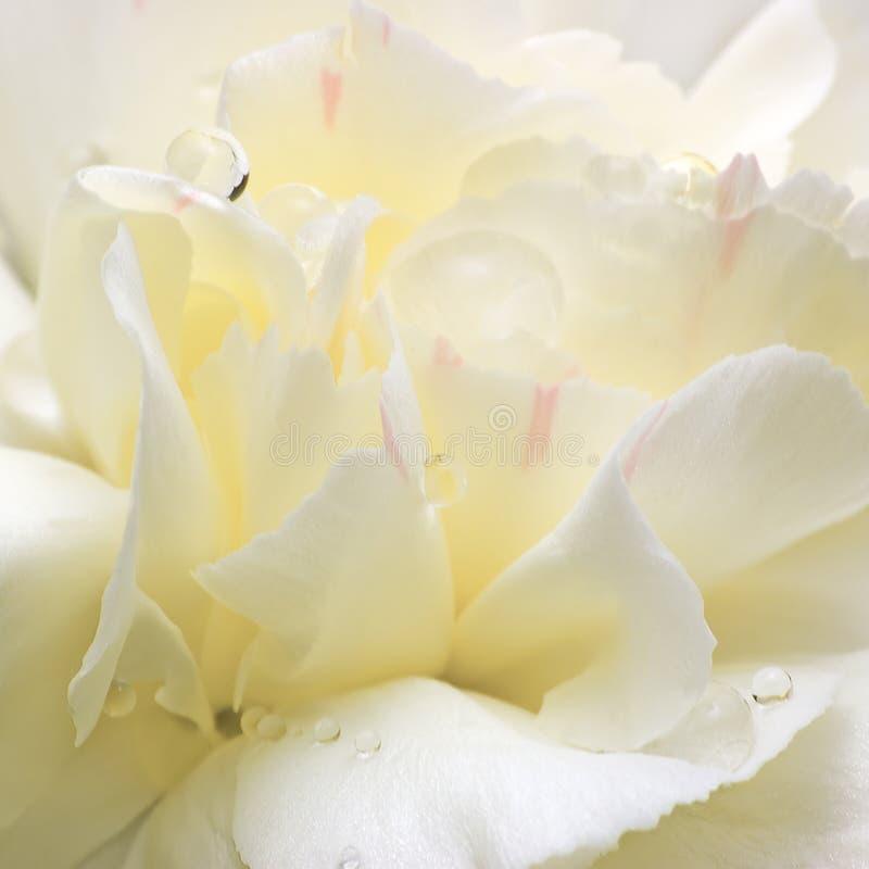 Abstrakte weiße Blumen-Blumenblätter, große ausführliche Makronahaufnahme, Wasser-Tau-Tropfen stockfoto