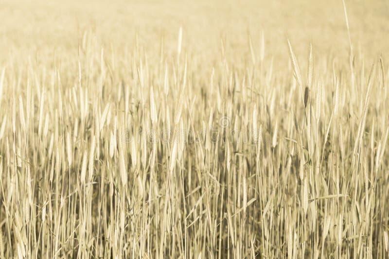 Abstrakte Weizenfeldbeschaffenheit Wiesennaturhintergrund stockfotos