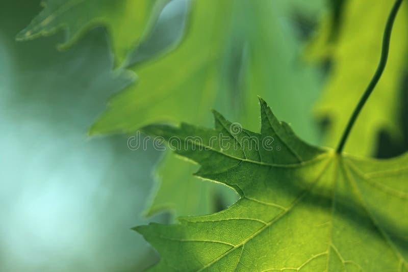 Abstrakter Ahorn stockfotografie