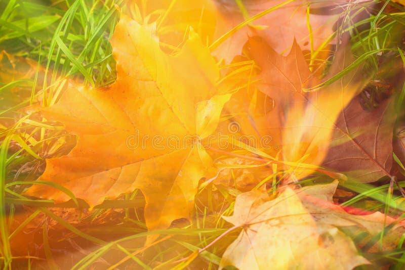 Abstrakter Herbsthintergrund Unscharfes gefallenes buntes Herbstblatt des Ahorns im Gras, natürliche Fallkunst stockbild