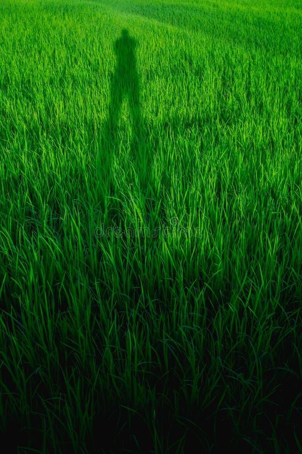 Abstrakter Hintergrund des grünen Reisfeldes mit Schattenleuten stockbild