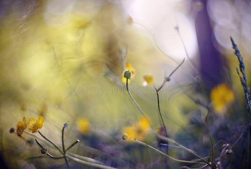 Abstrakter Hintergrund des Sommers mit gelben Farben einer Butterblume stockbilder