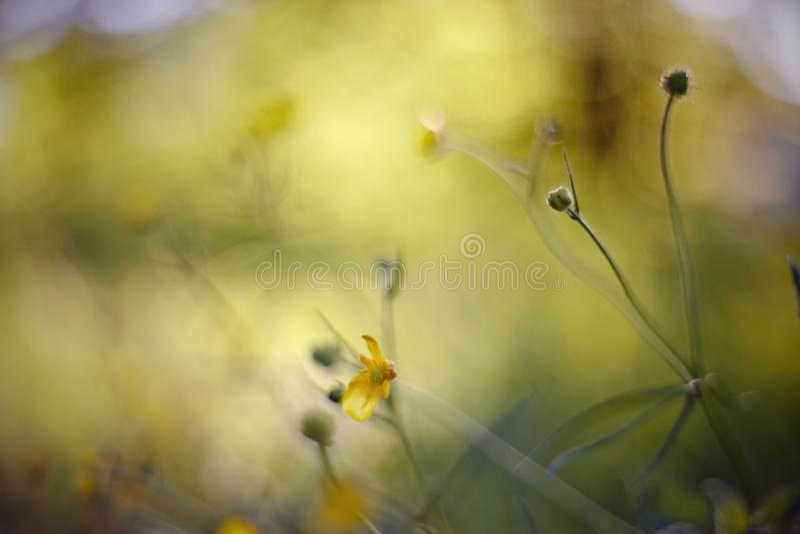 Abstrakter Hintergrund des Sommers mit gelben Farben einer Butterblume lizenzfreies stockfoto