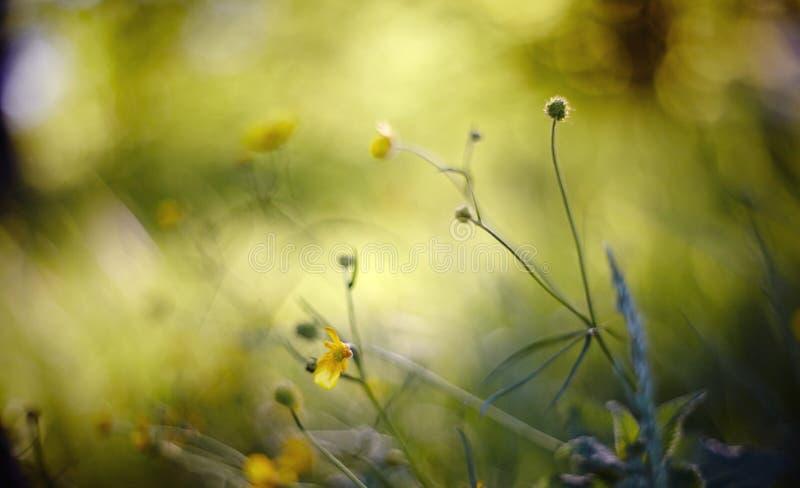 Abstrakter Hintergrund des Sommers mit gelben Farben einer Butterblume lizenzfreie stockfotografie