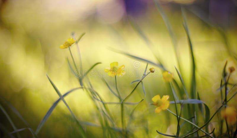 Abstrakter Hintergrund des Sommers mit gelben Farben einer Butterblume stockfotos