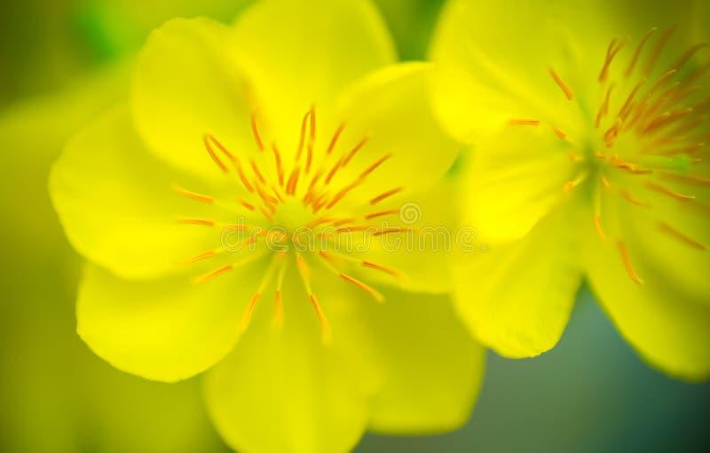 Abstrakter Hintergrund - Nahaufnahme der gelben Aprikose blüht Blüte im Neujahrstag stockbild