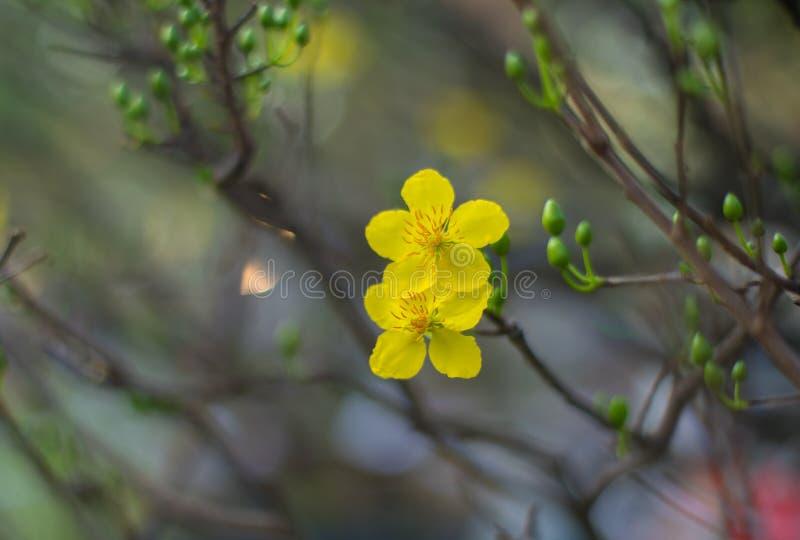 Abstrakter Hintergrund - Nahaufnahme der gelben Aprikose blüht Blüte im Neujahrstag lizenzfreie stockfotos