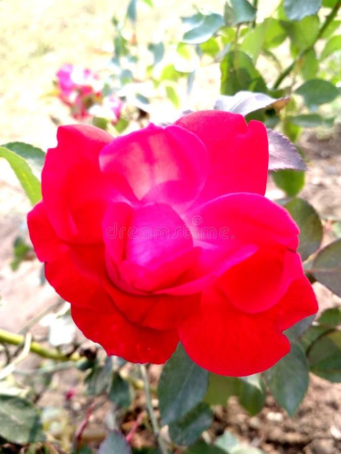 Abstrakter nahtloser gesprenkelter weißer Hintergrund mit roten Rosen und den Knospen, endlose Beschaffenheit kann für Tapete, Mu stockbilder