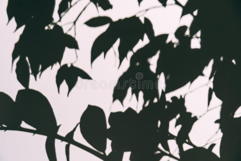 Abstrakter unscharfer Schattenüberlagerungseffekt auf weiße Wand der Niederlassung mit Blättern Schwarzweiss-Spott oben als Tapet lizenzfreie stockfotos