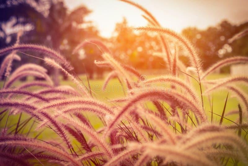Abstrakter Wiesenhintergrund mit Gras in der Wiese und im Sonnenuntergang, lizenzfreies stockbild