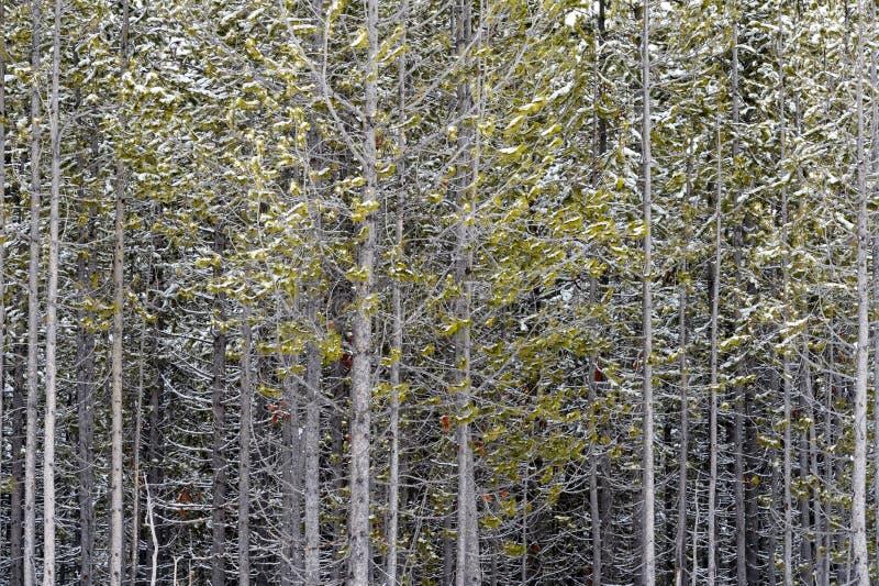 Abstraktes Bild eines dichten Kieferwaldes lizenzfreies stockfoto