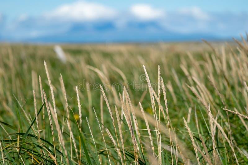 Abstraktes Foto des selektiven Fokus von Gräsern und von Schilfen Blauer Himmel lizenzfreies stockbild