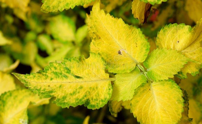 Abstraktes Gelbgrün lässt Natur-Hintergrund - Buntlippe Blumei - Plectranthus Scutellarioides stockfotos