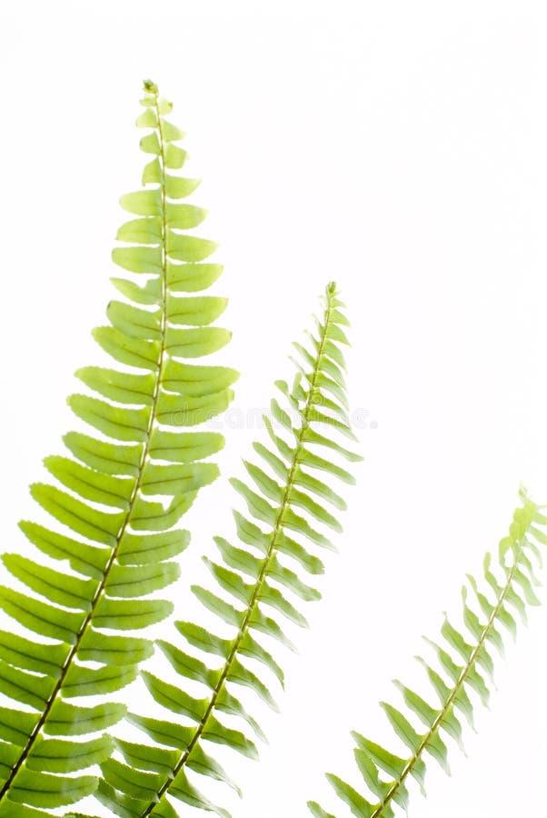 Abstraktes grünes Farnblatt lizenzfreies stockbild