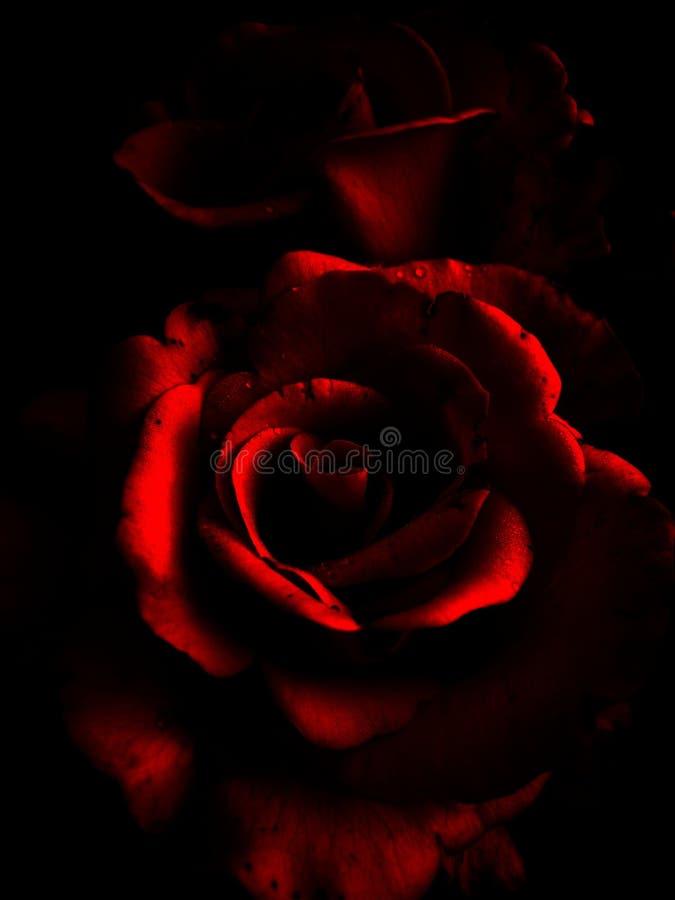 Abstraktion Rose mit Tröpfchen des Morgentaus auf den Blumenblättern lizenzfreie stockfotografie