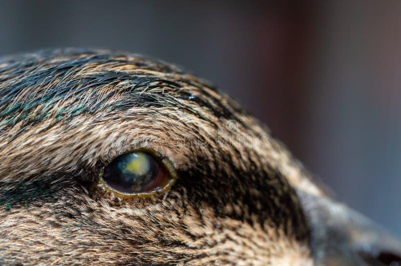 Abszess im Augapfel der Ente Makro einer Augeninfektion lizenzfreie stockfotos