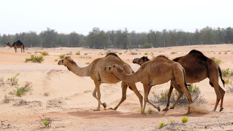 ABU DHABI, VEREINIGTE ARABISCHE EMIRATE - 3. April 2014: Gruppe des netten einhöckrigen Kamels oder des Dromedars im schönen liwa stockfotografie