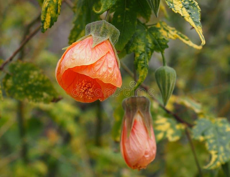 Abuliton ou mauve indienne en fleur image libre de droits