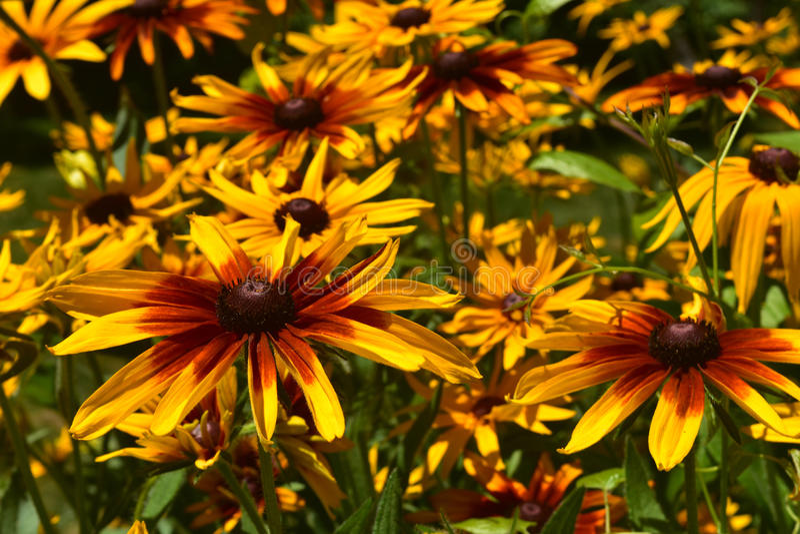 Abundância bonita de Susan Flowers de olhos pretos fotografia de stock royalty free