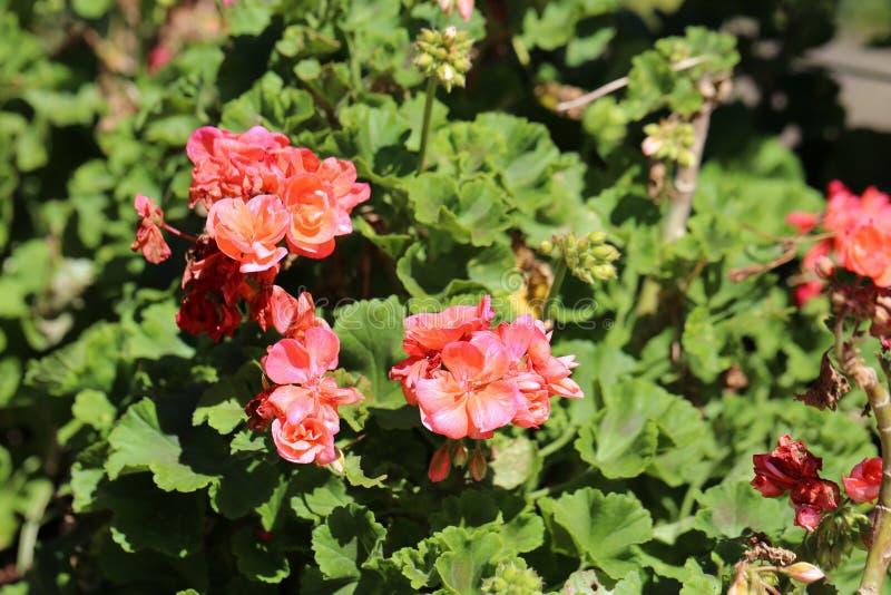 Abundância de Salmon Red Flowers Photographed de florescência em Madeira, Portugal fotografia de stock royalty free