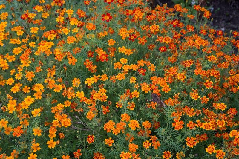 Abundância dos tagetes alaranjados que florescem na cama de flor fotos de stock royalty free