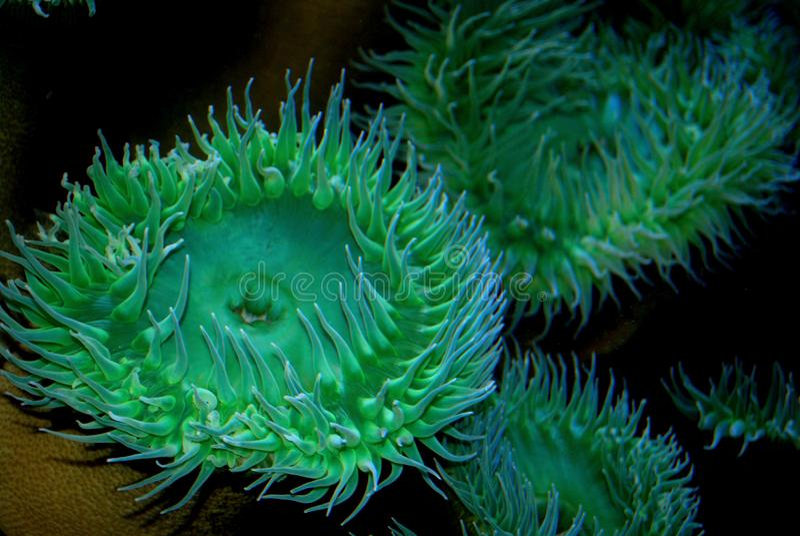 Abundância vibrante de anêmonas de mar azul e verde fotografia de stock royalty free