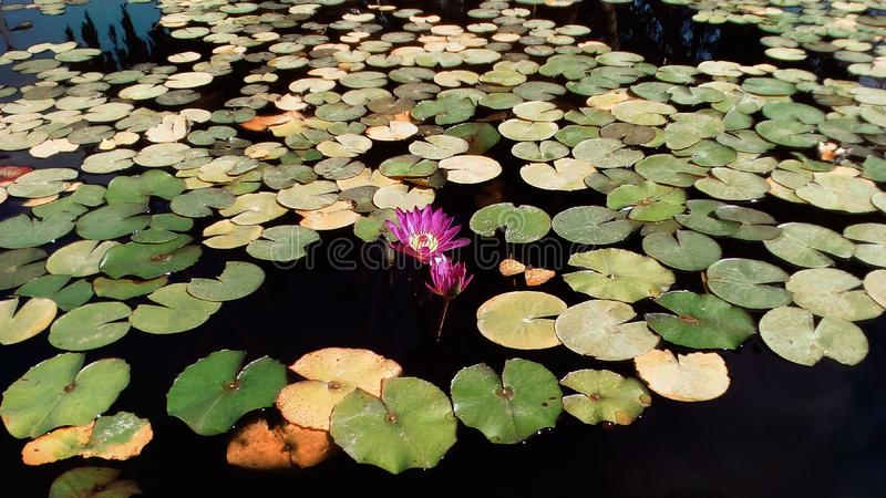 Lake with water lily. Abundance of beautiful water lily leaves along the water lake in daylight in horizontal and horizont view stock photos