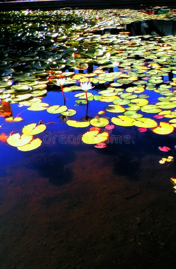 Magic landscape. Abundance of color water lily leaves along lake in sunny tropical day of fall season.It can be seen the reflection of the gorgeous blue sky on stock photography