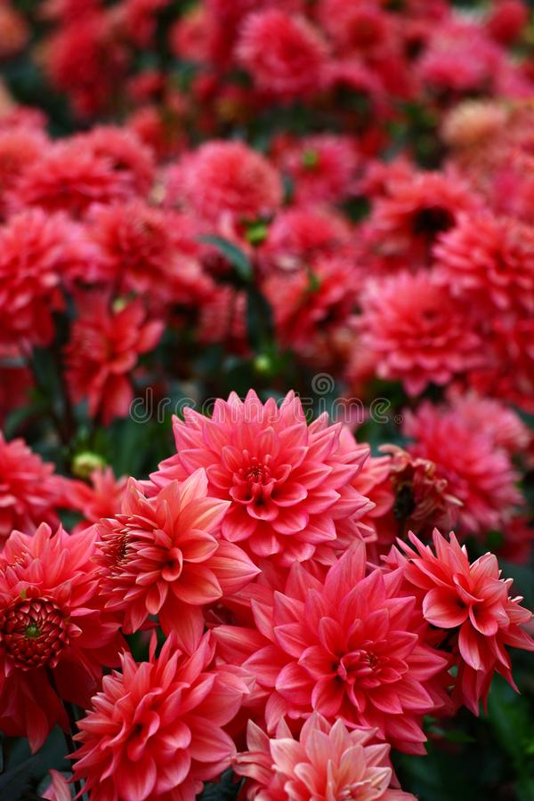 Abundance of pink color. A considerable quantity of buds dahlias of darkly pink color form a continuous color stain stock photo
