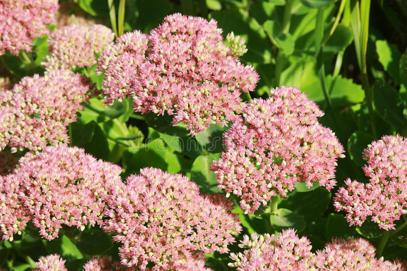 Pink stonecrop blossoms in sunlight. Abundance of pink stonecrop blossoms in sunlight, natural background in pink and green stock photo