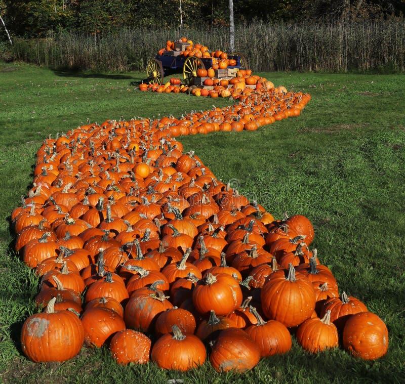 An abundance of pumpkins stock image