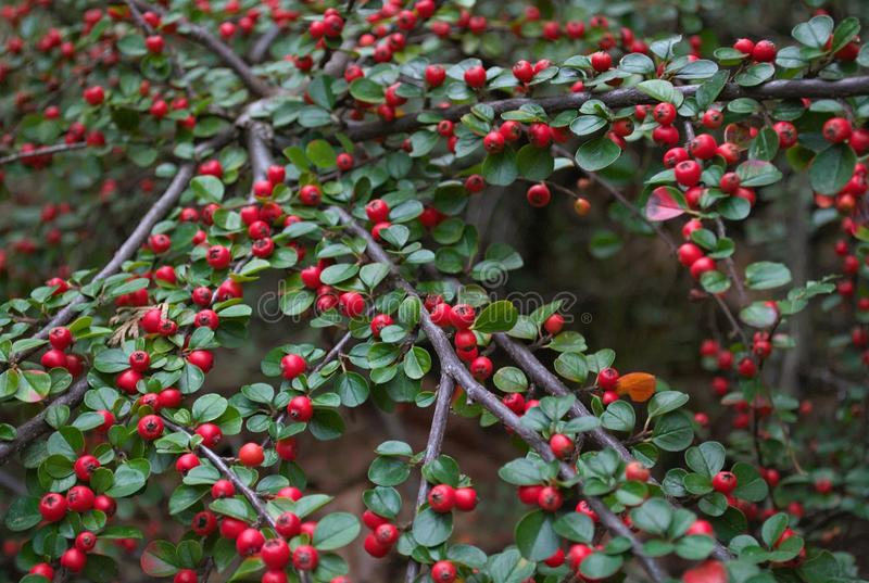 Abundance Of Small Red Berries On A Bush Autumn Stock Photo