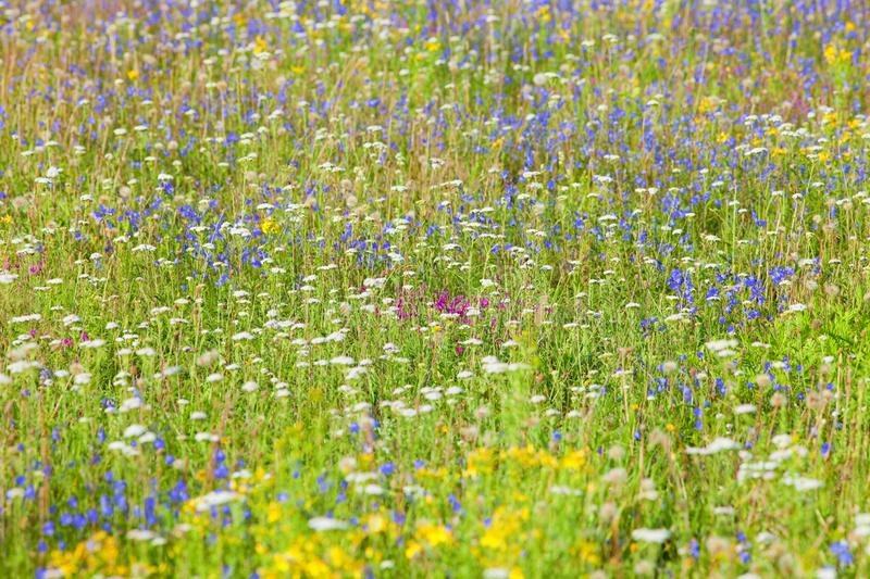 Abundance of Wild Flowers on a Meadow royalty free stock images