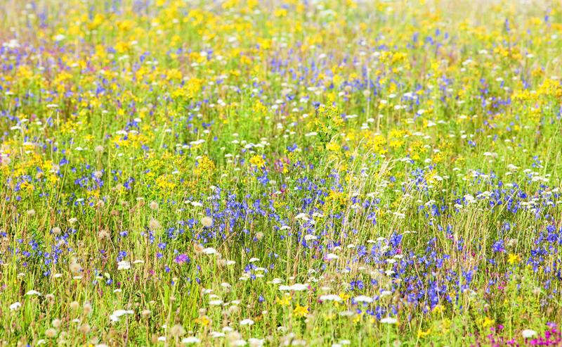Abundance of Wild Flowers on a Meadow stock photography