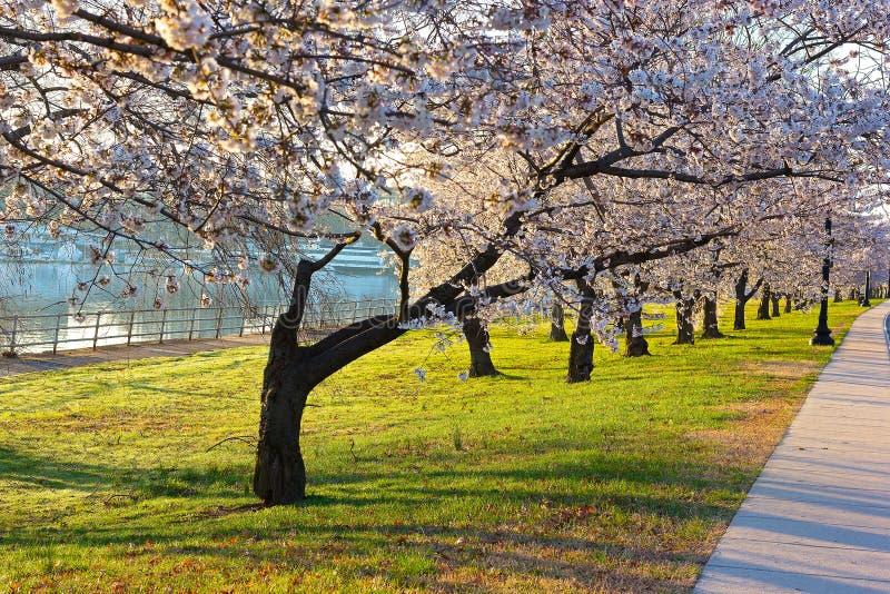 Abundancia de la flor de cerezo en el parque del este de Potomac, Washington DC foto de archivo libre de regalías