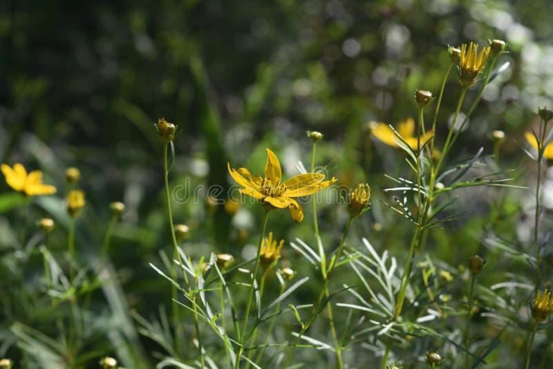 Abundancia hermosa de flores amarillas del Coreopsis durante la primavera fotos de archivo libres de regalías