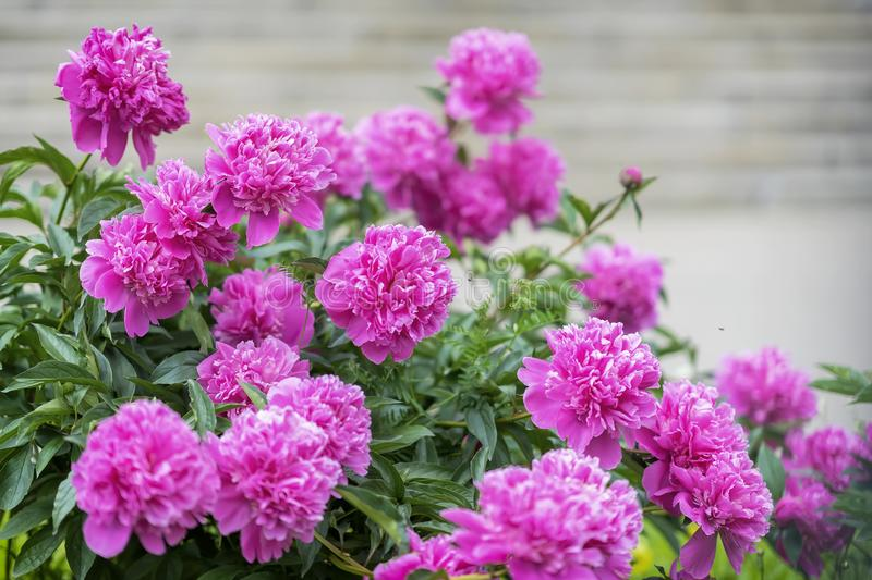 Abundant lush flowering Pink purple peonies in garden. Traditional floral symbol of China, where used in art and called stock image